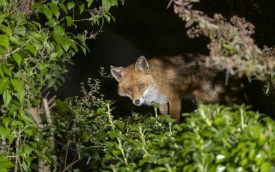 Sean the Fox